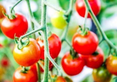 トマトの旬