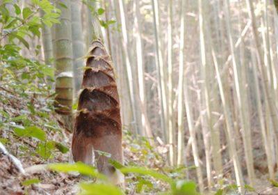 竹の子の旬